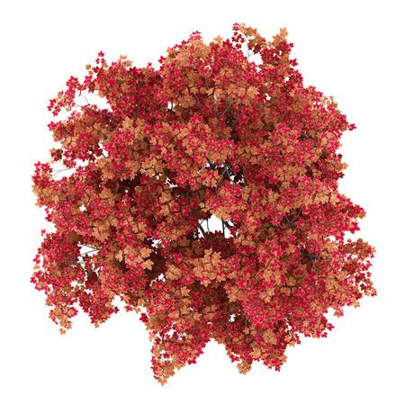 Bovenaanzicht van Japanse esdoornboom geïsoleerd op een witte achtergrond. 3d illustratie Stockfoto