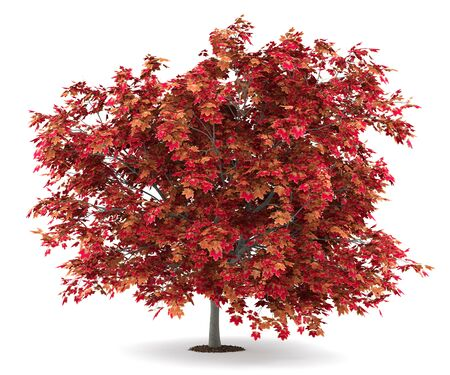 japanese maple tree isolated on white background. 3d illustration