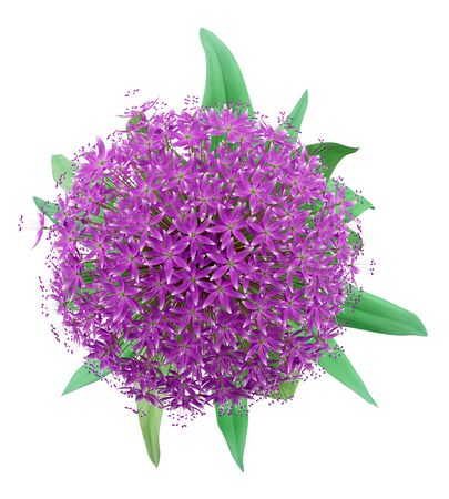 allium: top view of allium flower isolated on white background. 3d illustration Stock Photo