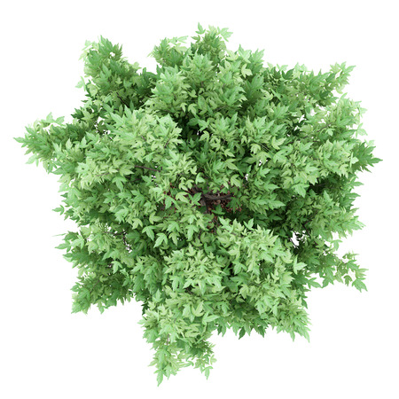 acer: top view of amur maple tree isolated on white background. 3d illustration