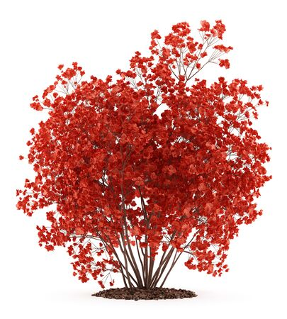 flowering quince plant isolated on white background. 3d illustration Stock Photo