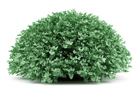 round boxwood plant isolated on white background. 3d illustration