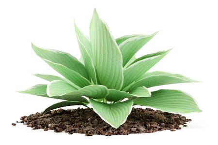 Image result for hosta plant clip art