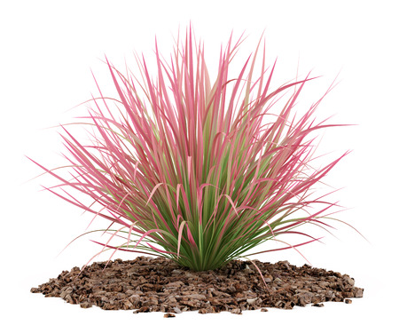 garden plant: ornamental grass plant isolated on white background. 3d illustration