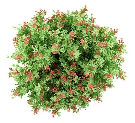 Draufsicht auf Pidgeon Beere Strauch Pflanze isoliert auf weißem Hintergrund. 3d darstellung Standard-Bild