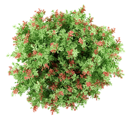 top view of pidgeon berry shrub plant isolated on white background. 3d illustration