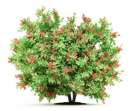 pidgeon: pidgeon berry shrub plant isolated on white background. 3d illustration