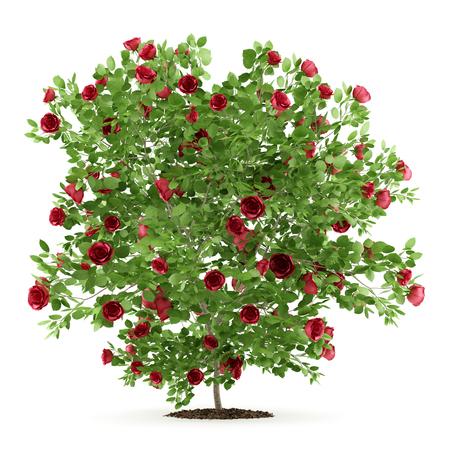 red rose shrub plant isolated on white background. 3d illustration