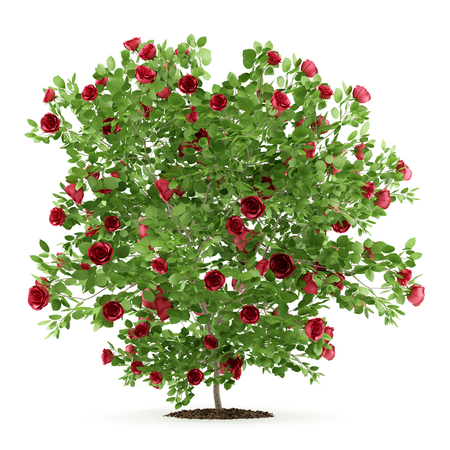 red rose shrub plant isolated on white background. 3d illustration