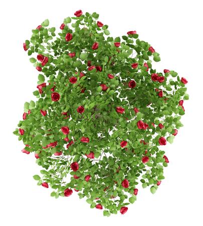 흰색 배경에 고립 된 빨간 장미 관목 식물의 상위 뷰. 차원 그림