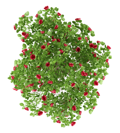 top view of red rose shrub plant isolated on white background. 3d illustration
