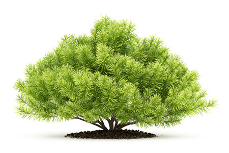 pine shrub plant isolated on white background. 3d illustration