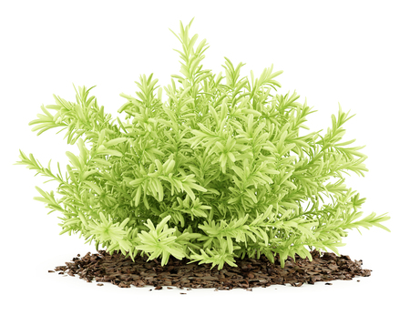 thin leaves sedum plant isolated on white background. 3d illustration