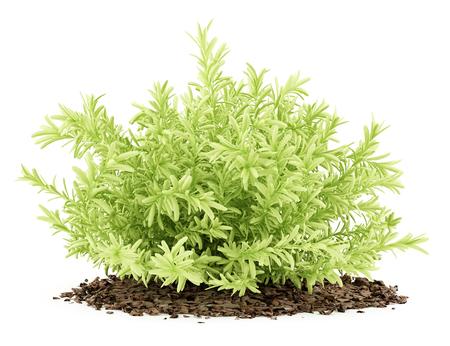 thin leaves sedum plant isolated on white background. 3d illustration Stock Illustration - 73063871