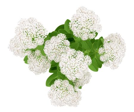 bovenaanzicht van bloeiende sedumplant geïsoleerd op een witte achtergrond. 3d illustratie Stockfoto