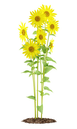 sunflowers plant isolated on white background. 3d illustration