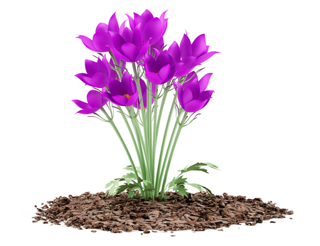 flor morada: pasque flowers isolated on white background. 3d illustration