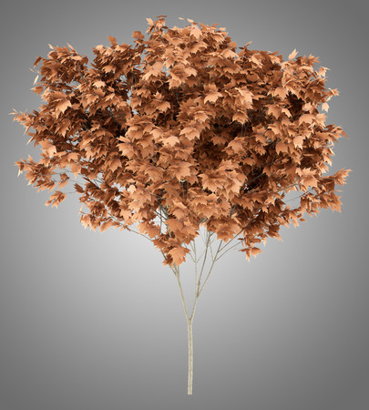 red maple tree isolated on gray background. 3d illustration