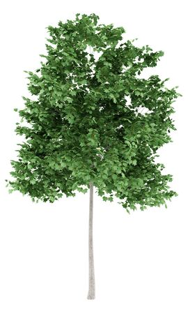 tulip tree isolated on white background. 3d illustration