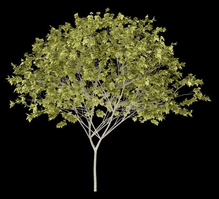 norway maple tree isolated on black background. 3d illustration