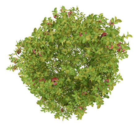 top view of apple tree with red apples isolated on white background. 3d illustration