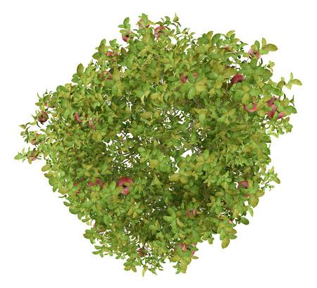 widok z góry jabłoni z czerwonymi jabłkami na białym tle. Ilustracja 3D