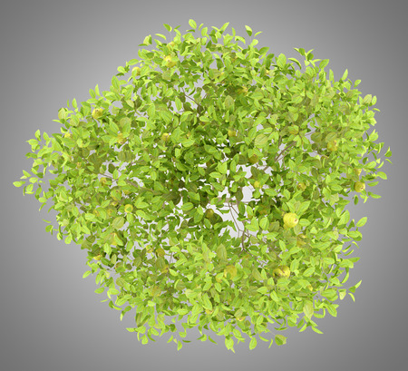 top view of pear tree with pears isolated on gray background. 3d illustration 免版税图像