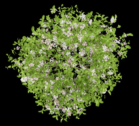 top view of flowering apple tree isolated on black background. 3d illustration 免版税图像