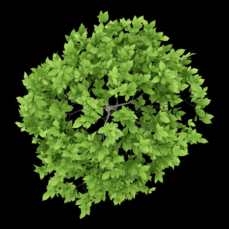 top view of plum tree isolated on black background. 3d illustration