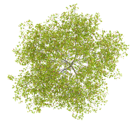 top view of cherry tree with cherries isolated on white background. 3d illustration
