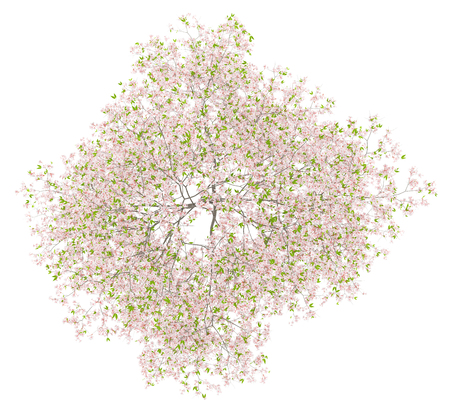 top view of flowering cherry tree isolated on white background. 3d illustration