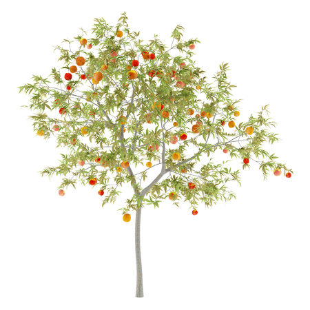 peach tree with peaches isolated on white background. 3d illustration