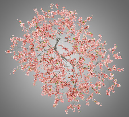 top view of flowering peach tree isolated on gray background. 3d illustration