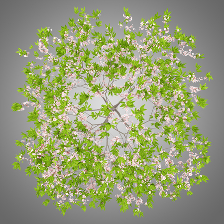 top view of flowering cherry tree isolated on gray background. 3d illustration Stock Photo