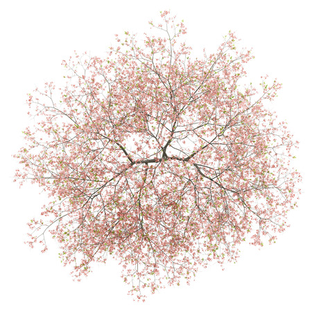 top view of flowering peach tree isolated on white background. 3d illustration
