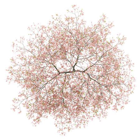 widok z góry kwitnącego drzewa brzoskwini na białym tle. Ilustracja 3D