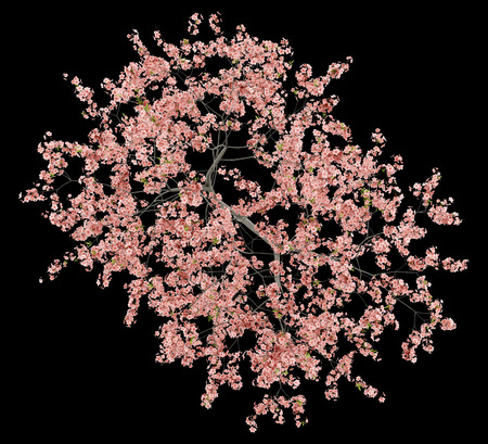 top view of flowering peach tree isolated on black background. 3d illustration 免版税图像