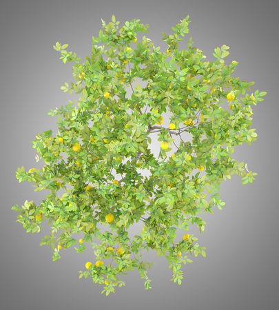 top view of lemon tree with lemons isolated on gray background. 3d illustration