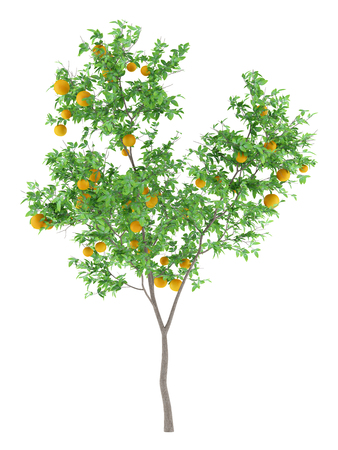 orange tree with oranges isolated on white background. 3d illustration