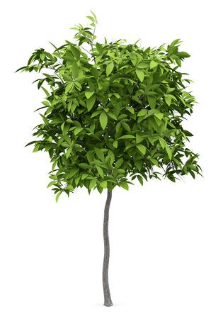 Avocado tree isolated on white background.
