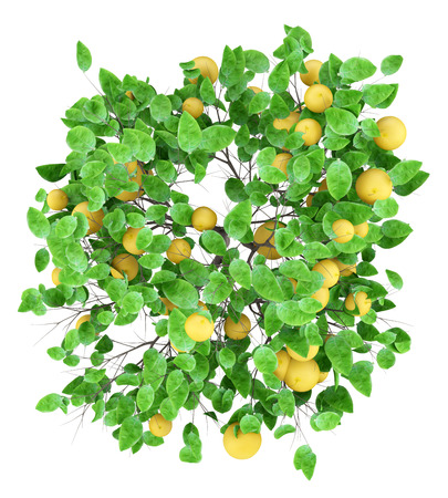 Grapefruit tree with grapefruits isolated on white