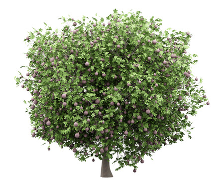 Common fig tree with figs isolated on white Stockfoto