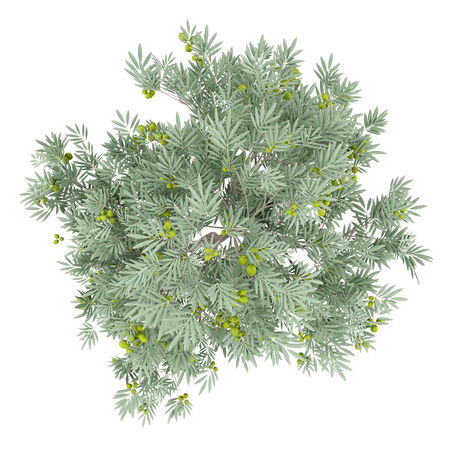 olive tree with olives isolated on white background. top view. 3d illustration