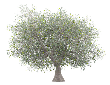 Olive tree with olives isolated on white