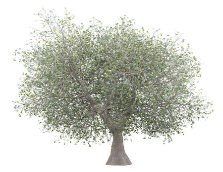 Olivier aux olives isolé sur blanc