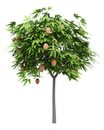 mango tree with mango fruits isolated on white background. 3d illustration Stock Photo
