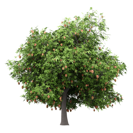 mango tree with mango fruits isolated on white background. 3d illustration Banque d'images - 115921624