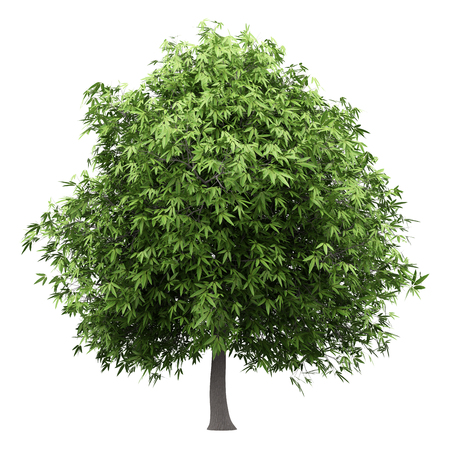 mango tree isolated on white background. 3d illustration Banque d'images - 115921635