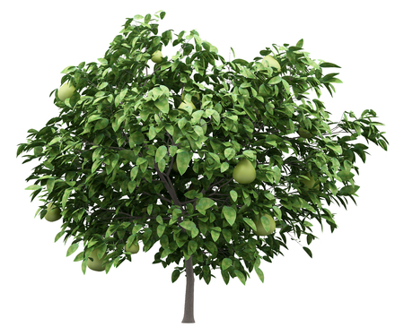 pomelo tree with fruits isolated on white background. 3d illustration Stok Fotoğraf