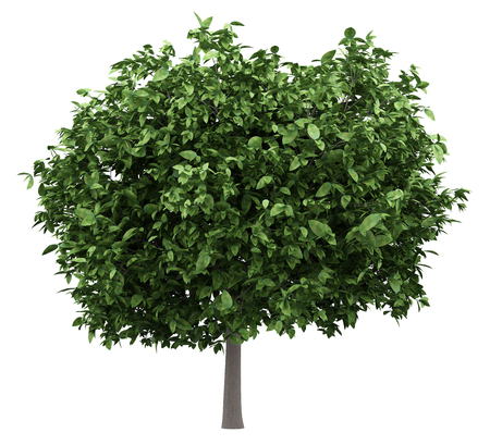 pomelo tree isolated on white background. 3d illustration Banque d'images - 116753679